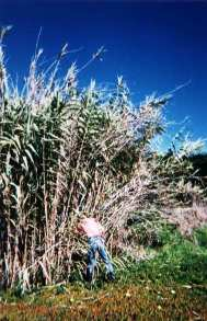 Searching in a bush of Arundo Donax